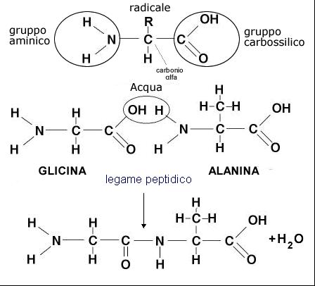 erboristeriarcobaleno aminoacidi proteine schio benessere chimica