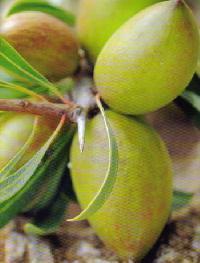 erboristeria-arcobaleno-benessere-schio-argan-olio-tipi