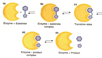 enzimi1